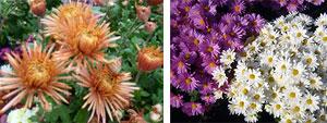 Хризантемы и дубки уход и выращивание