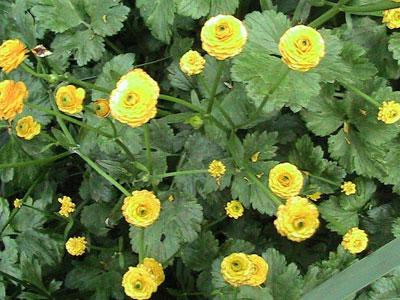 Фото лютика садового