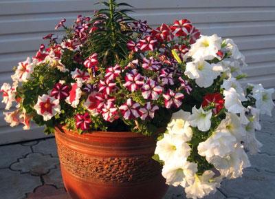 Декоративных цветущих растений